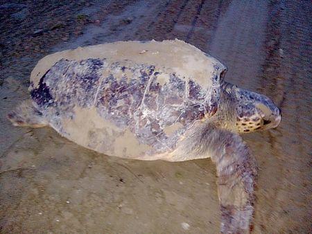 Una tartaruga Caretta Caretta ha nidificato a Baia Flaminia