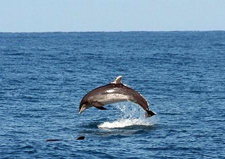Delfini avvistati a Pesaro, Ricci: «È la  conferma di quanto il nostro mare sia pulito»